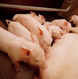 Saugende Ferkel / Copyright MSD Tiergesundheit