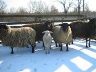 Ihr dickes Fell schützt die Schafe Schnee und Kälte
