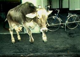 Bei BSE-positiven Tieren ist die Wahrnehmung verändert, so dass sie zu Überreaktionen neigen. Dieses Rind springt über eine Kotrinne.