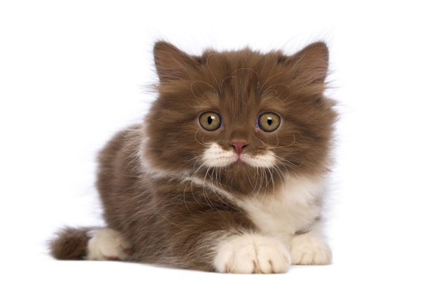 Brachychephale Katze