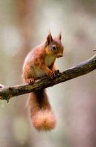 Eichhörnchen halten im Winter Winterruhe