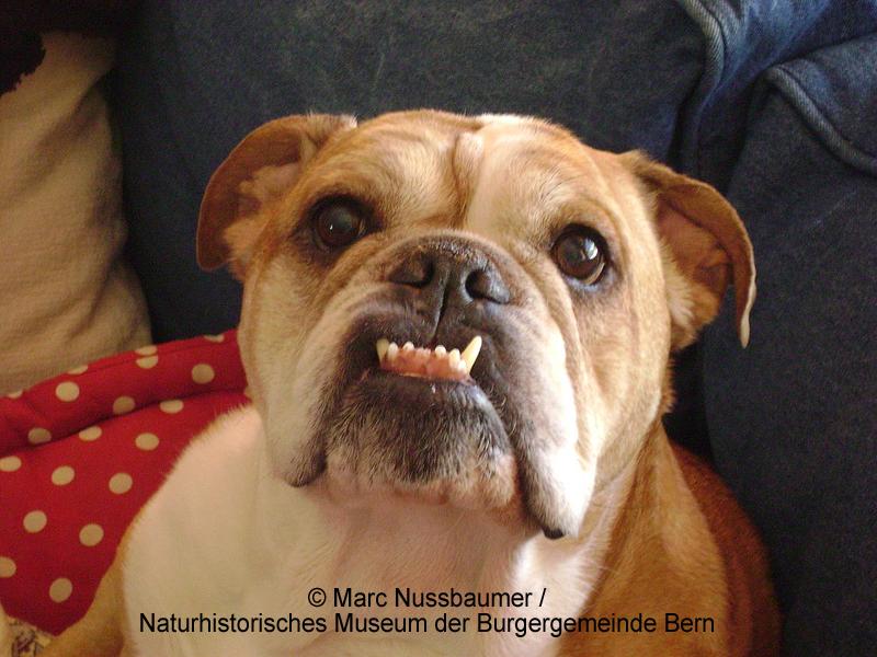 Eine Englische Bulldogge mit Vorbiss (Prognathie).