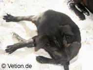 Sandflöhe können auch für Hunde sehr lästig werden