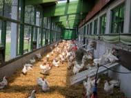 Hühner im Kaltscharrraum
