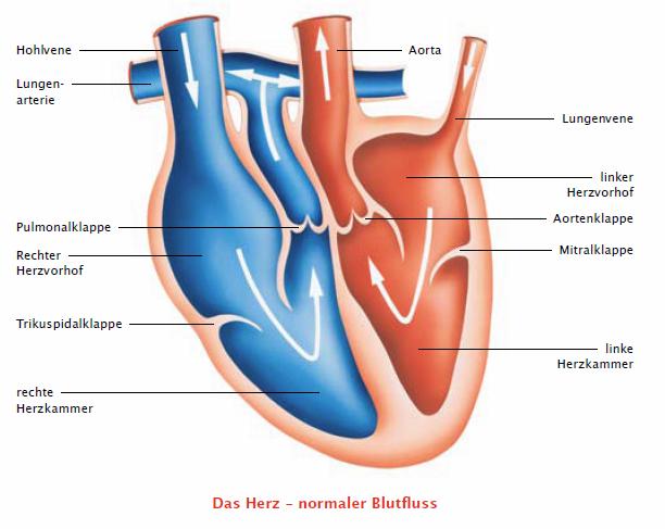 Querschnitt durch ein Herz - normaler Blutfluss (Quelle: msd-tiergesundheit.de)