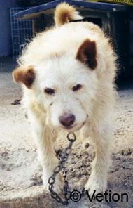 Hunde, die in Zwingern leben oder viel Kontakt zu Artgenossen haben, sind besonders empfänglich für Zwingerhusten.