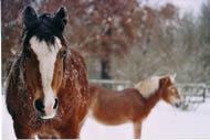 Pferden macht Schnee nichts aus