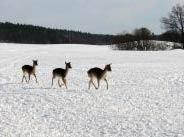 Damwild rennt über verschneites Feld