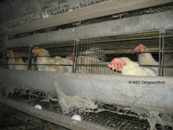 Durch die Rote Vogelmilbe hervorgerufene Symptome bei Legehennen können u.a. sein: blasse Kämme, Abgeschlagenheit, struppiges Gefieder.