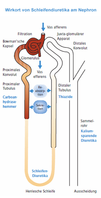 Wirkmechanismus von Schleifendiuretika