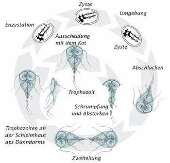 Entwicklungszyklus der Giardien