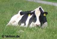 Milchkuh auf der Weide